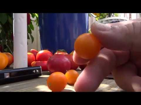 ⟹  Galapagos Island - Tomato WILD TOMATOES!! CHECK IT OUT!!
