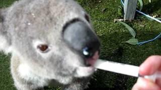 Repeat youtube video Oxley Highway Matt: hand-feeding a koala at the Hospital