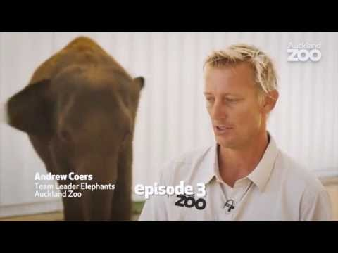 Thumbnail: Zoo Tales - Elephant Anjalee's journey to Auckland Zoo