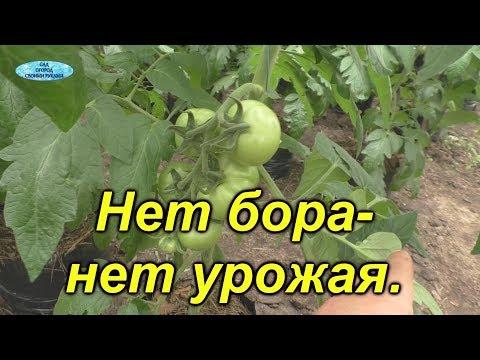 Обязательная обработка томатов