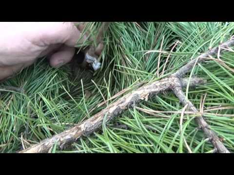 Малина: условия выращивания, посадка, уход