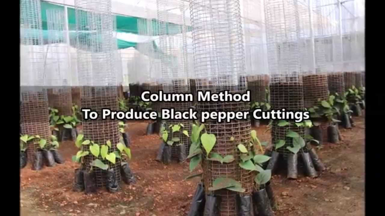 Column Method To Produce Black Pepper Cuttings