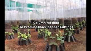 Column Method To Produce Black Pepper Cuttings