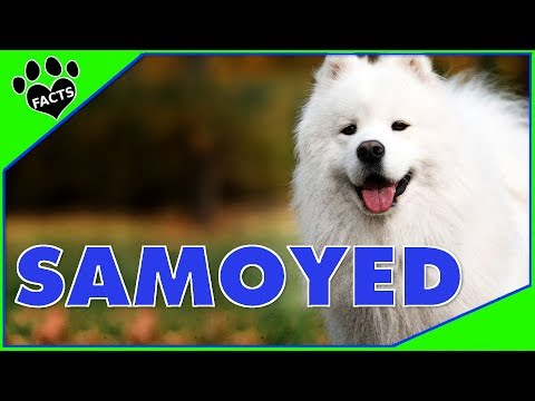 Dogs 101:Top 5 Samoyed Facts - Best Dogs Ever Collab w/ Yeti's Place