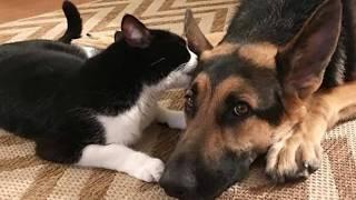 Кошка и пёс при хозяйке нарочито ненавидели друг друга, но стоило ей выйти из комнаты…