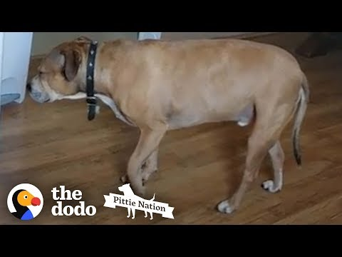 This Sneaky Pittie Loves To Tiptoe Everywhere He Goes | The Dodo Pittie Nation
