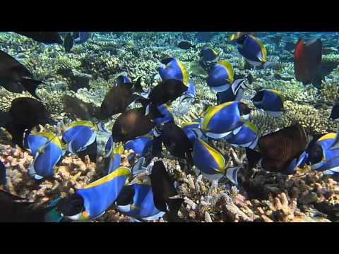 School Of Powder Blue Tang And Surgeon Fish - Maldives