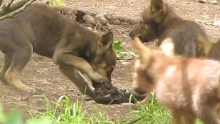 Red wolf pups with Turkey Neck