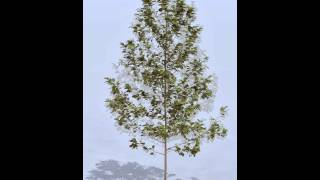 Green Gene 04 - Young Alder Tree