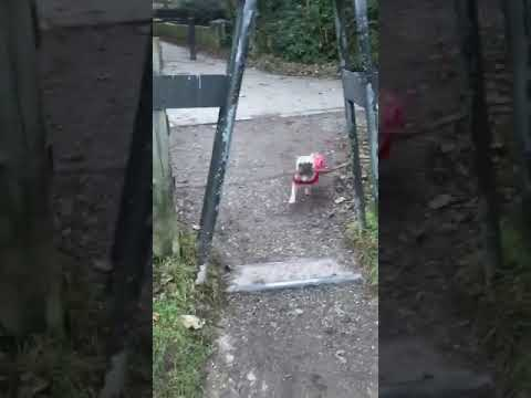 French bulldog tries to run through narrow gateway with stick that's too big and falls over