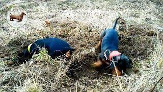 Такса & Собака: 🐶 Таксы - Каждая такса особенная и при потере собаки заменить ее не получится :((
