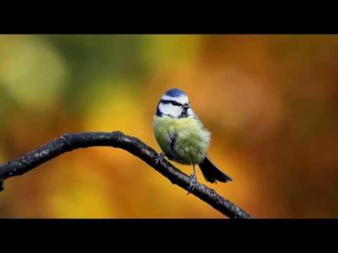 Blue Tit Bird Call Bird Song