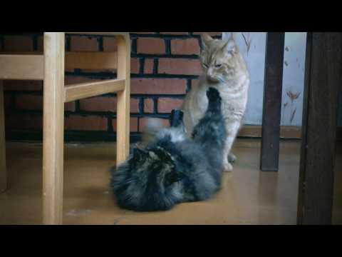 Funny animals - domestic cats fighting