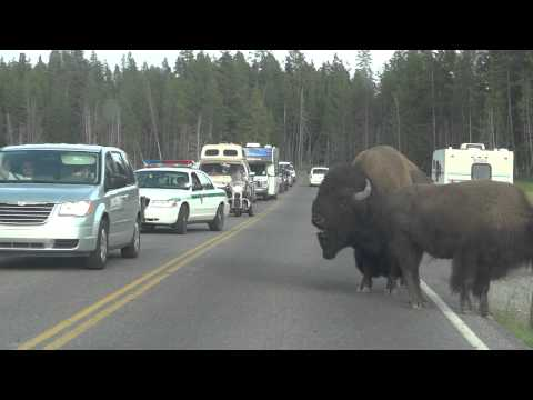Bison Traffic Jam in Yellowstone