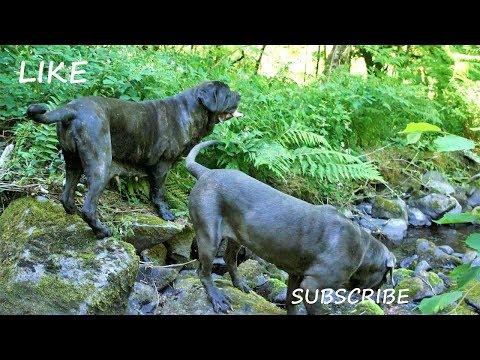 Cooling Down Neapolitan Mastiffs - Walk Through River
