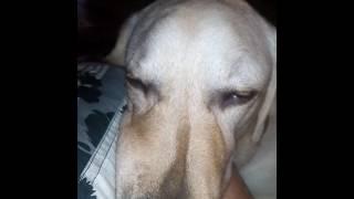 Сон белой собаки