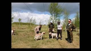 English setter, Hunting Dog Show