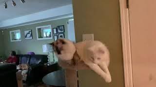 Ragdoll kitten Epic failed (fell), literally