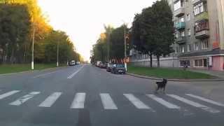 Собака соблюдает ПДД. Могилев.