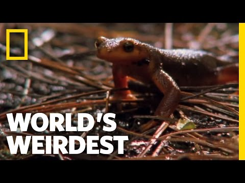 Swallowed Newt Escapes Death | World's Weirdest