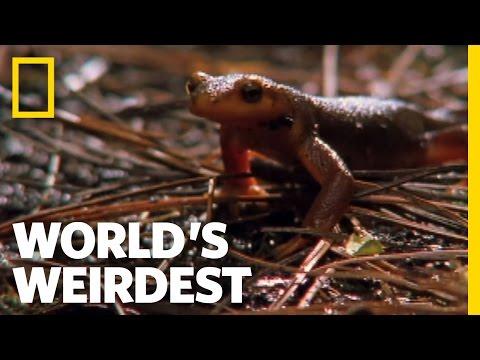 Swallowed Newt Escapes Death | World's Weirdest