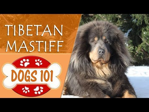 Dogs 101 - TIBETAN MASTIFF - Top Dog Facts About the TIBETAN MASTIFF