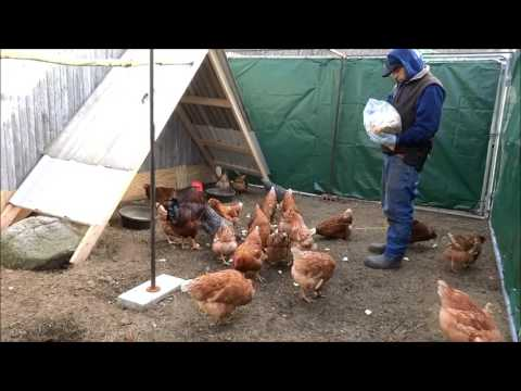 upgrades to the chicken coops & runs extra footage