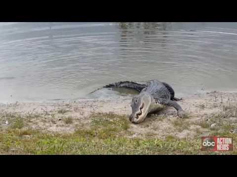 VIDEO: Gator eats player