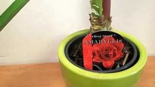 Amaryllis ´cherry Nymph´