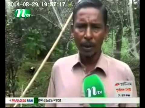 Rambutan cultivated in Bangladesh