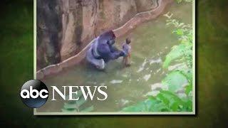 Gorilla Grabs Child After He Falls into Habitat at Cincinnati Zoo