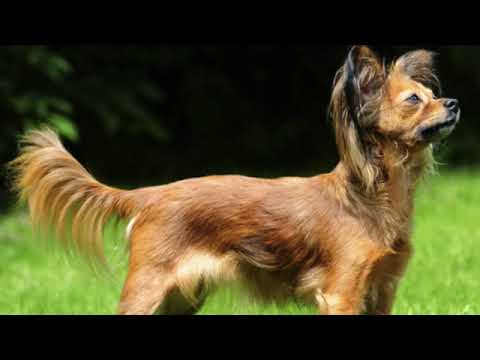 Russian Toy - small dog breed