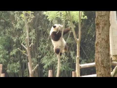 Панда и дерево