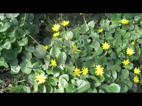 Энциклопедия растений: Лютик (Ранункулюс)