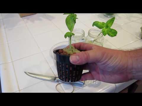 Grow Infinite Basil Plants for using Hydroponics or the Kratky Method