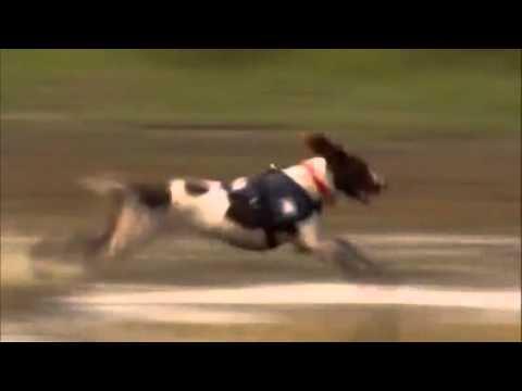 dogs 101 - springer spaniel
