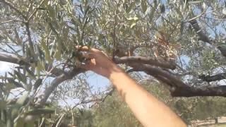 Dikkat, Kuruyan Zeytin Ağaçlarını, Sakın  Kesmeyin