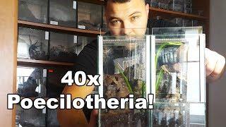 Baixar 40x Poecilotheria! Terrarium dla grup P.metallica i P.rufilata - spidersonline.pl