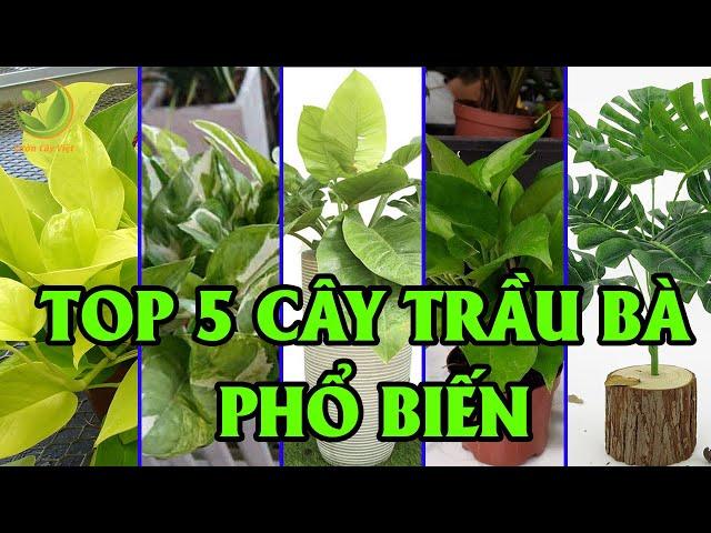 Top 5 Loại Cây Trầu Bà Phổ Biến Nhất Hiện Nay | Vườn Cây Việt