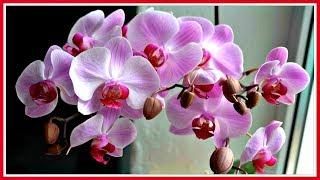 Как заставить орхидею цвести. Уход за орхидеями.(Сегодня на канале стартует новая рубрика
