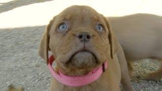 Dogue De Bordeaux Puppies Bounce Around