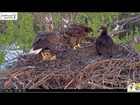 Stewards Of Upper Mississippi Eagles~ Saturday Fish Delivery & Wingersizing 4.22.17