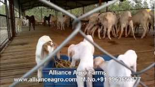 Stall fed Goat farm in Andhra Pradesh