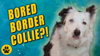 How To Keep a Border Collie Occupied