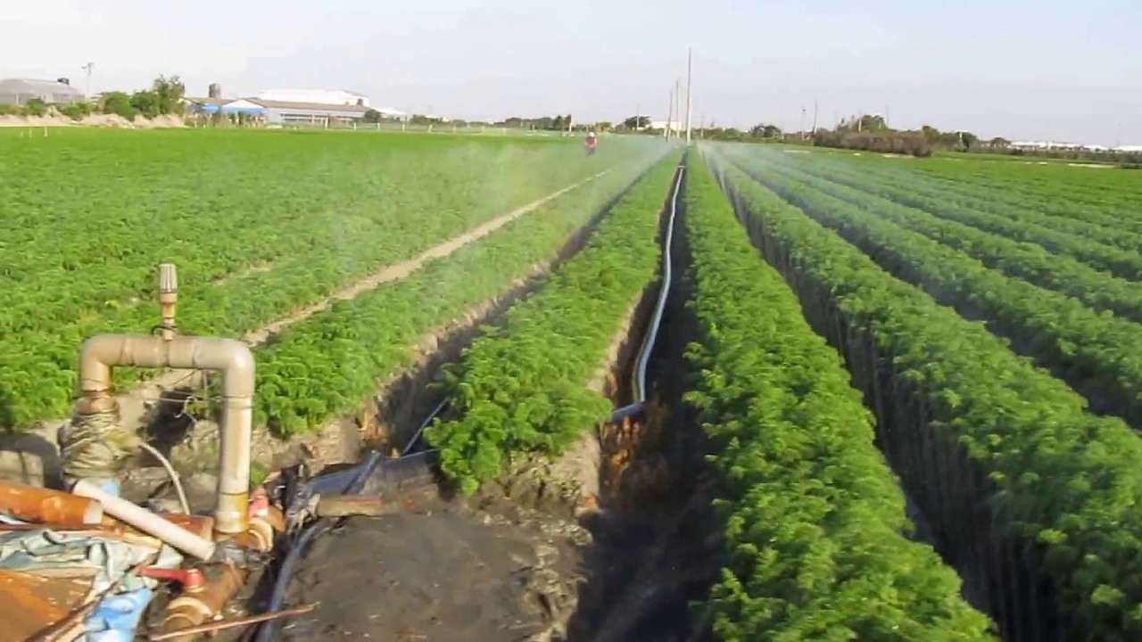 riego de la zanahoria