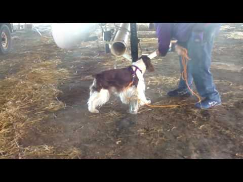 Springridge English Springer Spaniels