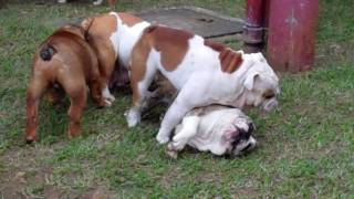 The Best Dog Breed In The World Is The English Bulldog
