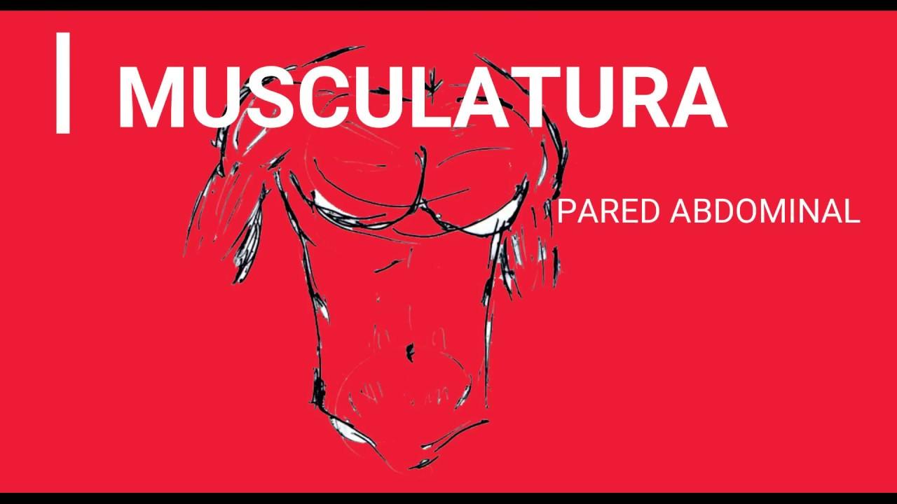 ANATOMÍA -MUSCULATURA- PARED ABDOMINAL POSTERIOR Y SUPERIOR - YouTube