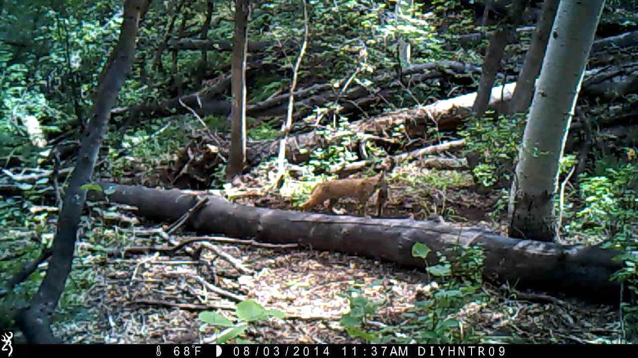 Bobcats on a Browning Range Ops Trail Camera