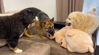 Golden Retriever doesn't want to share his big toy with friend's puppies!